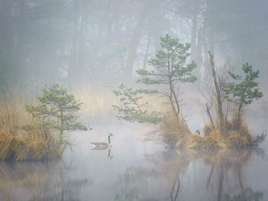Канадские гуси плавают на болоте туманным днем, Нидерланды