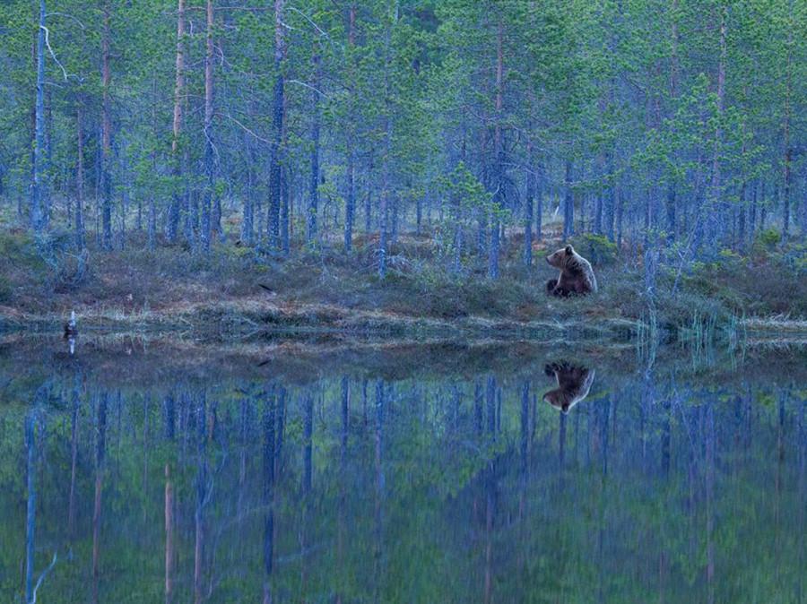медведь в Финляндии