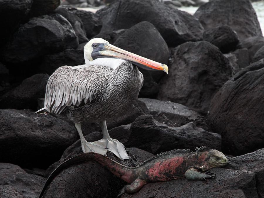 Пеликан и игуана, Галапагосы