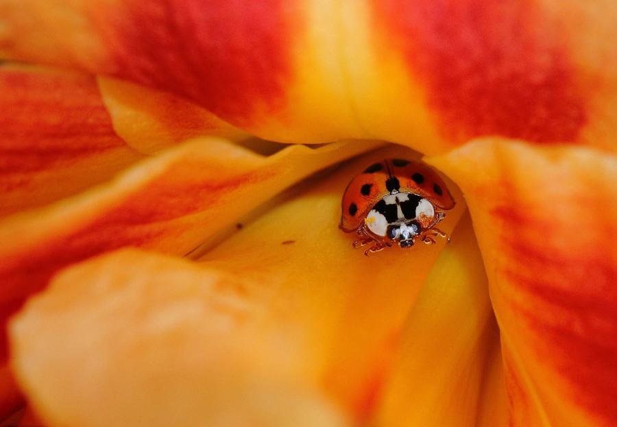 Божья коровка выглядывает из цветка лилейника