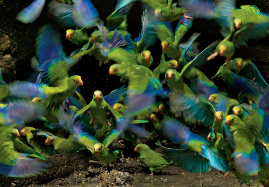 В Национальном парке Ясуни в Эквадоре красочные лори слетелись к пруду