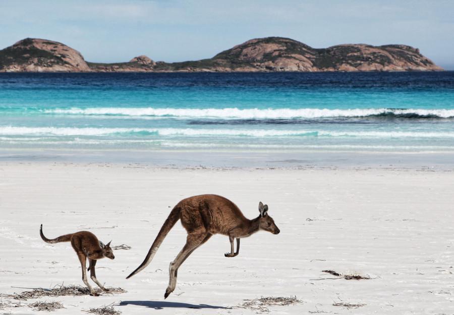 Мама кенгуру со своим детенышем на пляже в Эсперансе, Западная Австралия