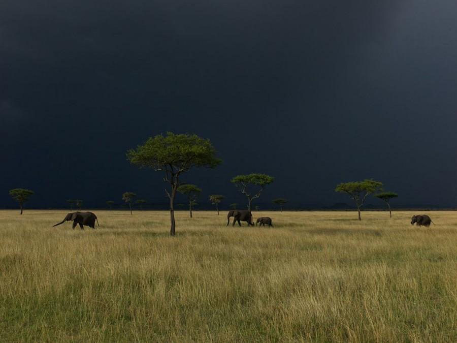 Слоны в парке Серенгети под грозовым небом