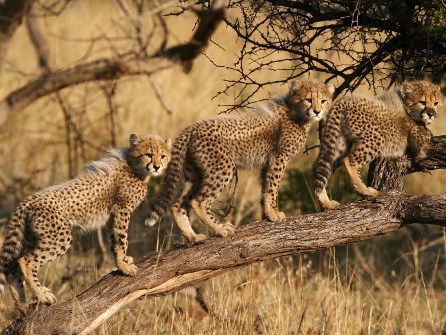 Три детеныша гепарда в заповеднике Пхинда в Квазулу-Натал, ЮАР