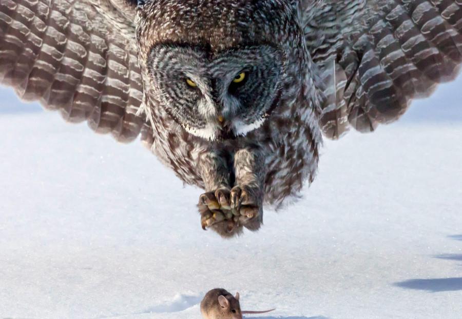 Бородатые неясыти прилетают на юг из Канады в Миннесоту зимой, чтобы найти еду. Эта сова на северном берегу Верхнего озера охотилась за мышкой