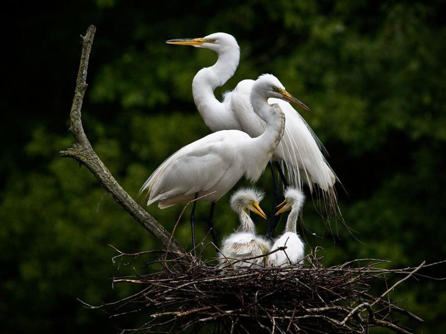 Весна – сезон гнездования для белых цапель, живущих на реках и озерах Южной Каролины
