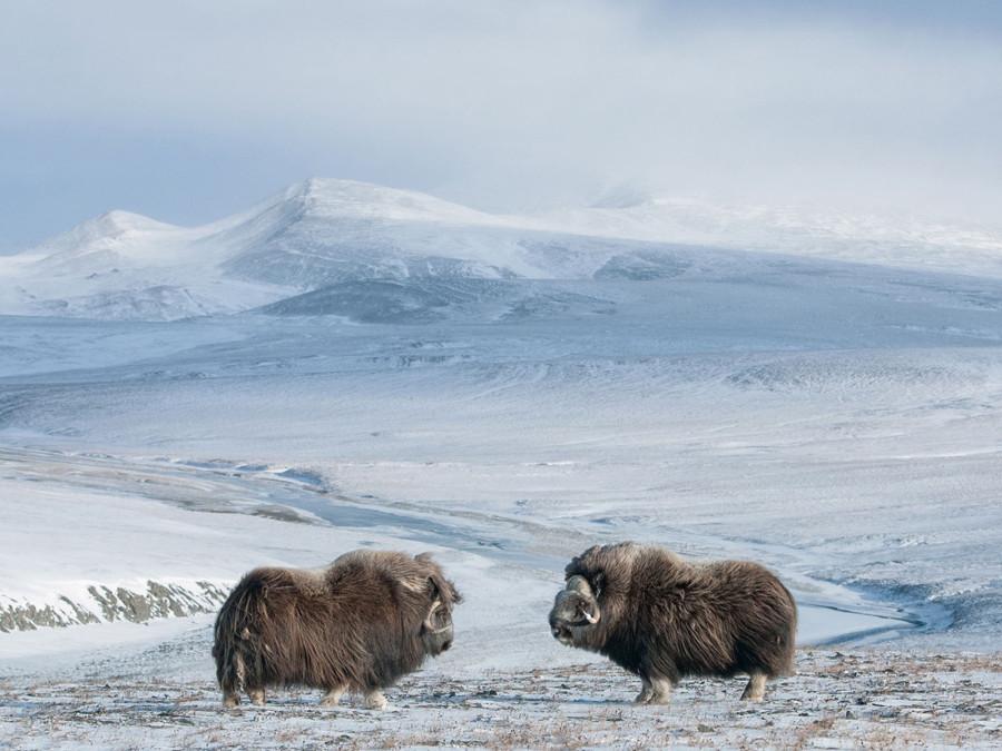 Два самца овцебыка оценивают друг друга. В сентябре, когда на остров Врангеля приходит брачный сезон, самцы часто устраивают бои