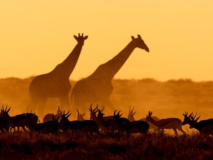 Жирафы и газели. Намибия