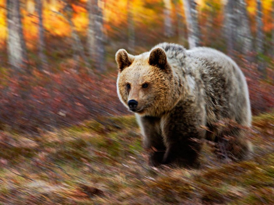 Медведица, Финляндия. Фотограф поджидал ее весь день, и в 10 часов вечера она наконец появилась