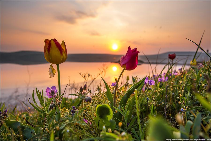 Цветение диких тюльпанов Шренка на востоке Крыма, апрель 2013 года