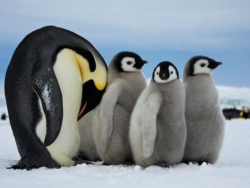 Взрослый императорский пингвин в Антарктиде заботится о детенышах, пока второй родитель ловит рыбу. (Dafna Ben Nun)