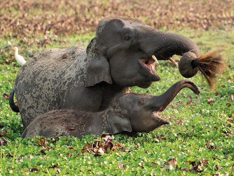 Дикие слоны живут на плодородных паводковых равнинах Казиранги, где болота, высокая трава и леса дают им еду и кров. Национальный парк Казиранга занимает 80 км на реке Брахмапутра. Здесь живет около 1300 слонов. (Sandesh Kadur)