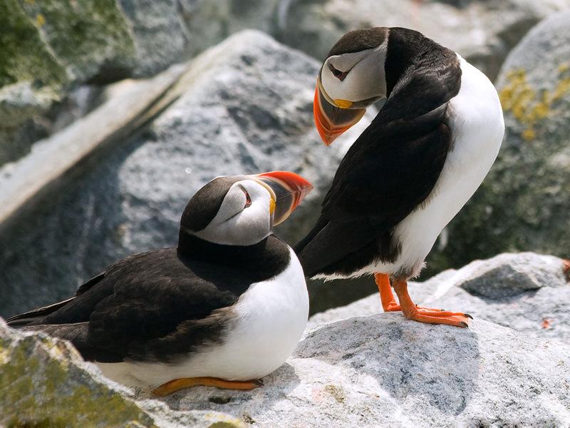Тупики общаются на острове Макиас-Сил в заливе Мэн. Этот остров – настоящее убежище для тупиков и других редких птиц, которые размножаются на скалистом побережье каждое лето. Тупики выбирают спутников на всю жизнь, хотя на зиму расстаются. (Jon Reaves)