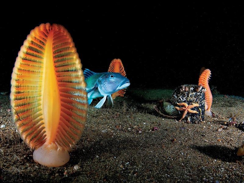 Мягкие кораллы, также известные как морские перья, и голубая треска в мелких водах новозеландского заповедника Лонг Саунд. Если дотронуться до мягкого коралла, он будет испускать зеленоватый свет и сжиматься. (Brian Skerry, National Geographic)