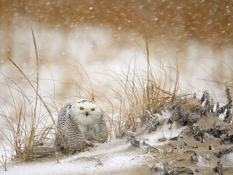 Полярная сова во время снежной бури. В отличие от большинства сов, полярные совы могут охотиться и быть активными и днем и ночью. (James Galletto)
