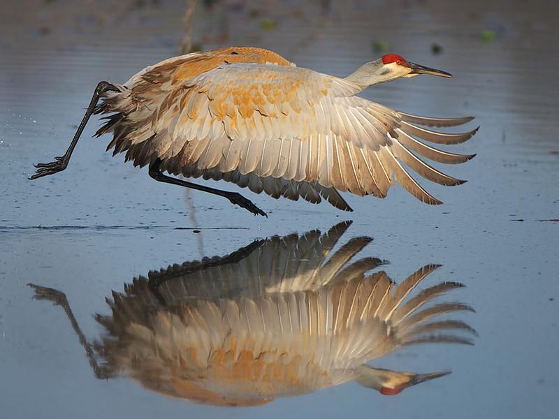 Фото канадского журавля на озере Уайлдуинг в Брайтоне, штат Мичиган. (Jim Ridley)