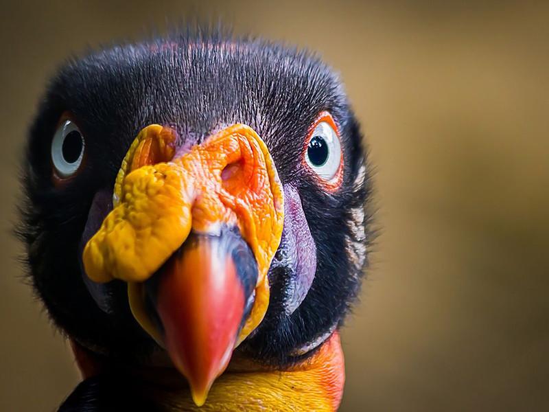Королевский гриф (Sarcoramphus papa) – большая птица, обитающая в Центральной и Южной Америке. (Jorge A. Bohorquez)