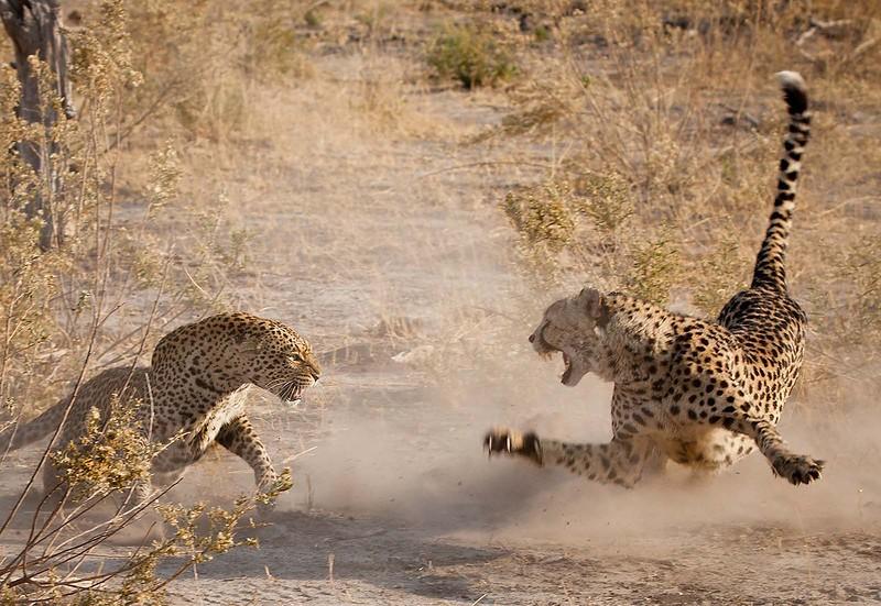 Очень редкая встреча двух пятнистых хищников: самца гепарда (справа) и самки леопарда
