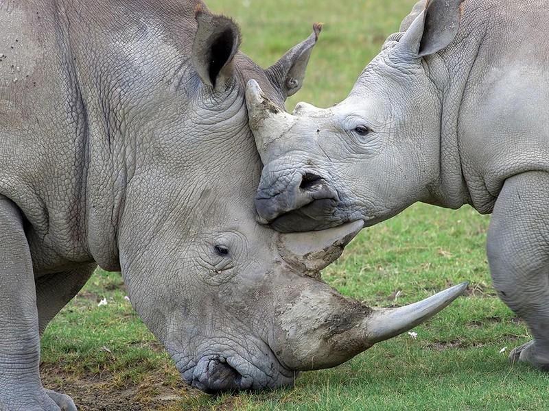 Семейство носорогов, Национальный парк озера Накуру в Кении. (Igor Chervonenko)