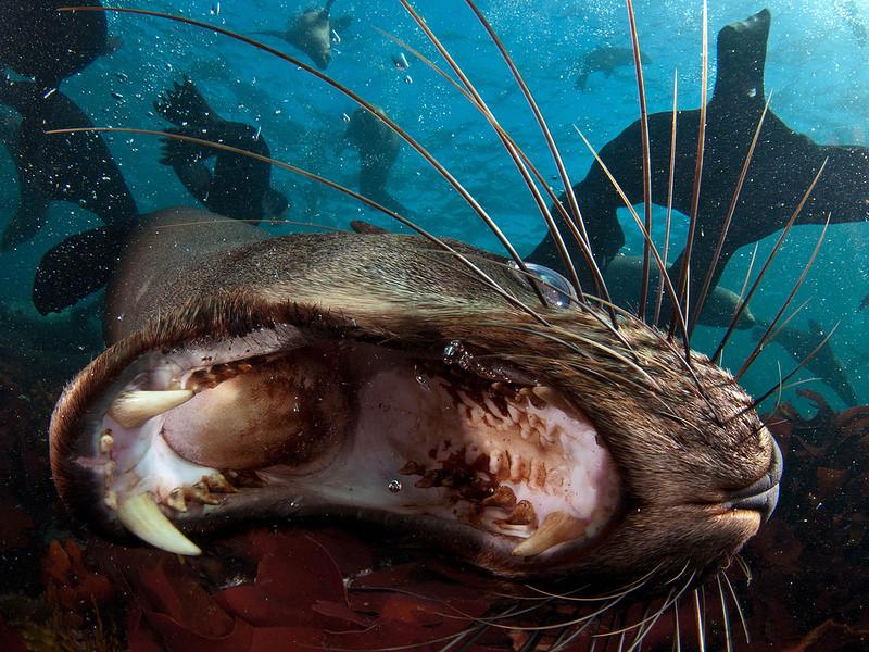 Южноафриканские морские котики