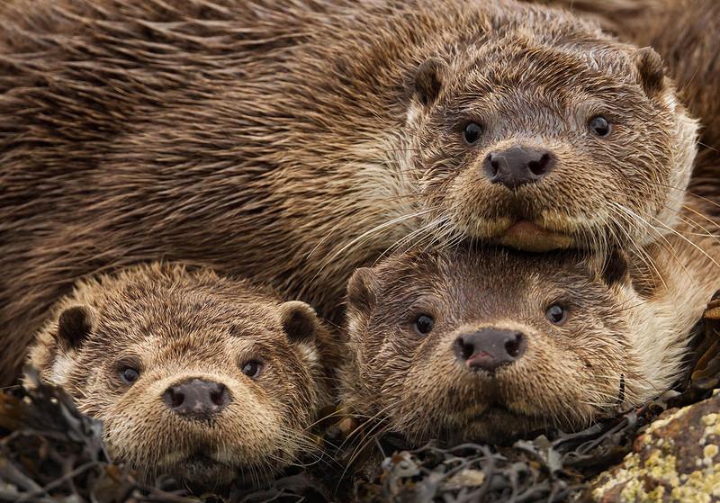 На Шетландских островах мать и два детеныша как будто прислушиваются к кликанью затвора на фотоаппарате фотографа.  ( Charlie Hamilton James)