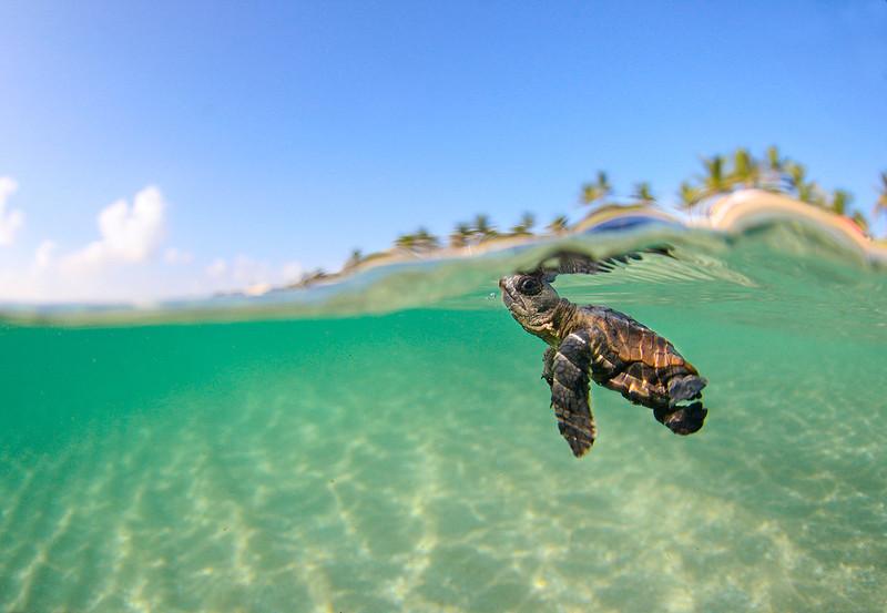 Детеныш головастой черепахи отправляется в море на Палм-Бич. (Ben Hicks)