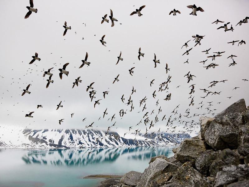 Люрики из семейства чистиковых охотятся на ракообразных и гнездятся на скалистых берегах Свальбарда в Норвегии. (Paul Nicklen)