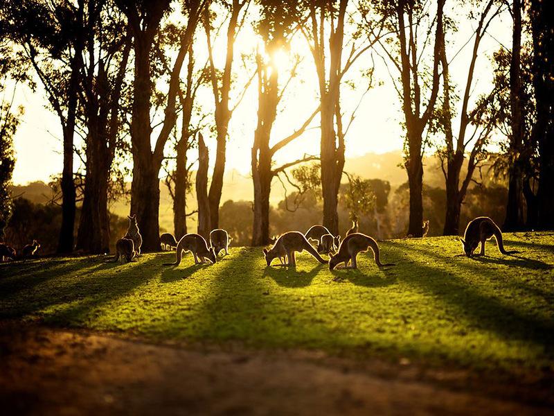 Незадолго до закрытия зоопарка на острове Филиппа кенгуру собрались вместе, чтобы отдохнуть и пощипать травку на фоне заходящего зимнего солнца. (Adhi Anggadjaja)