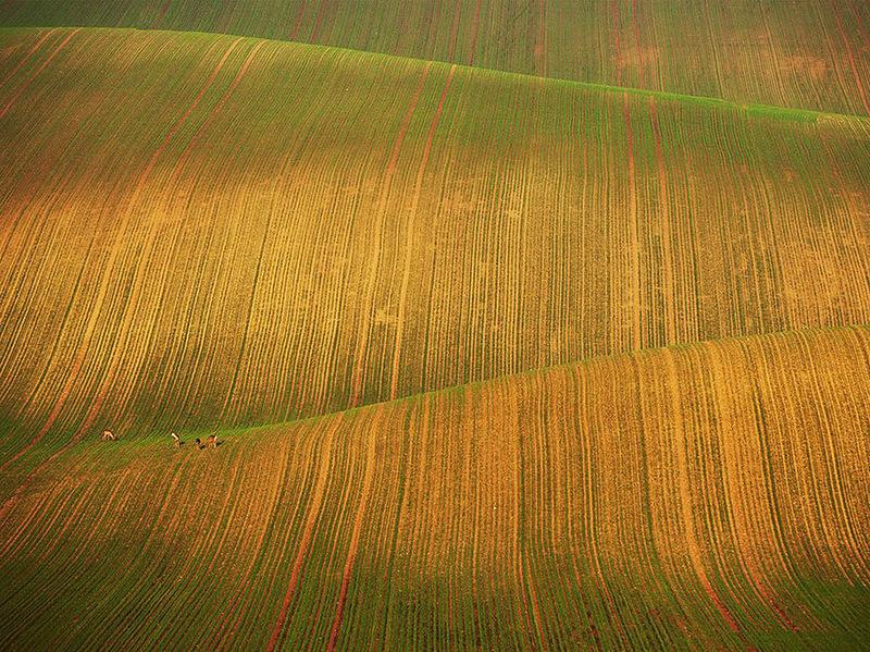 Олени на волнистых полях в южной Моравии, Чехия. (Wael Massalkhi)