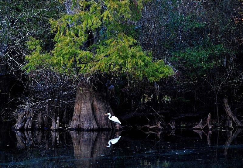 Эта большая белая цапля часто обитает на этом месте на красивой реке Хилсборо в Тампе. Солнце почти село, и мы как раз доставали свои каяки из воды, когда я увидела эту птицу на другом берегу перед огромным кипарисом. Идеальный кадр. (Carol Kay)