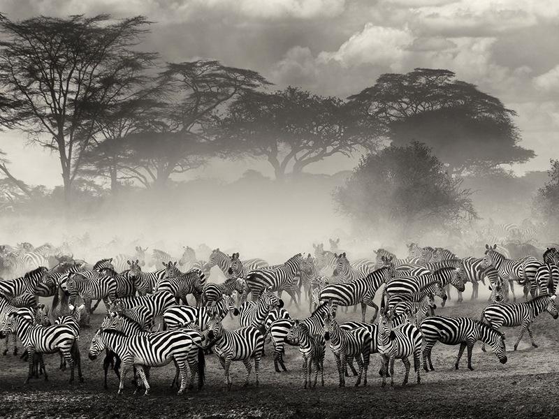 Это фото сделано в Серенгети, Танзания, во время периода миграций. Зебры и гну собирались на окраине реки в ожидании нужного момента для переправы. (Giulio Zanni)