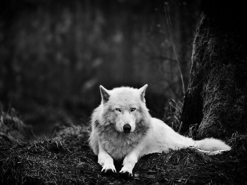 Серый волк отдыхает в заповеднике для волков в Вашингтоне. (Mukul Soman)