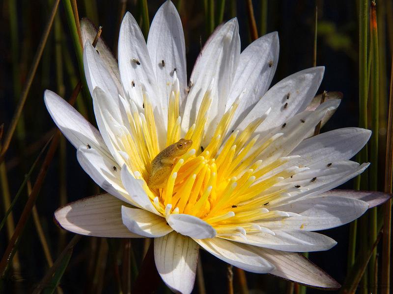 Тростнянка удобно устроилась на водяной лилии в ожидании мух в Ботсване. (Petra Warner)