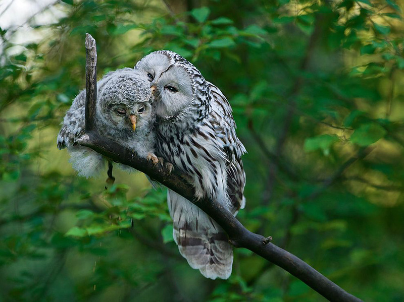 Эта сова такая милая – причесывает своего птенца. Но лучше не соваться в совиное гнездо – уральские совы очень агрессивно защищают свою территорию. (Sven Začek)