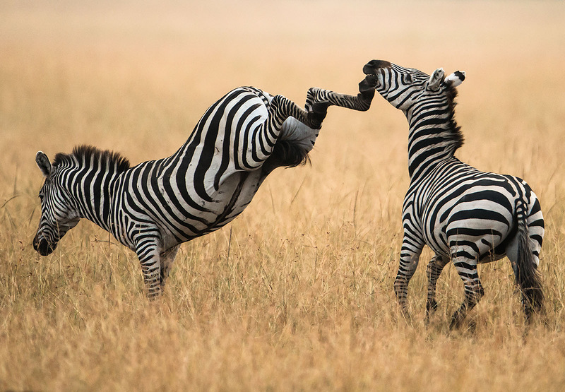 Драка двух зебр в Кении. (Justin Bowen)