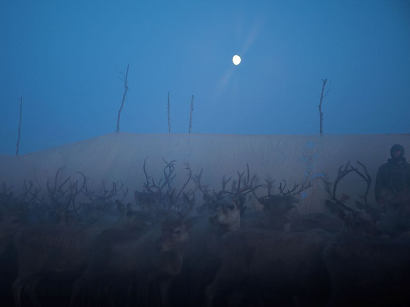 Северные олени, Скандинавия. В специальных загонах пастухи отделяют беременных самок от остальных оленей. (Erika Larsen)