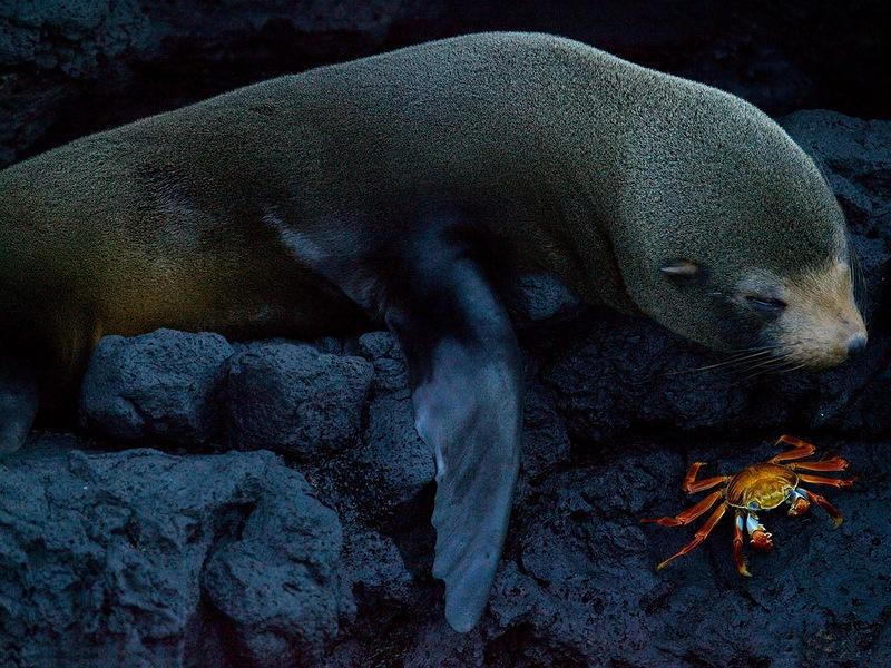Фото было сделано на острове Сантьяго в составе Галапагосских островов. Морской котик и крабик отдыхают бок о бок. (Benjamin Jakabek)