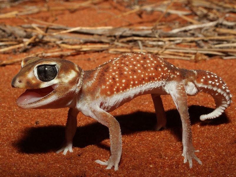 Шишкохвостый геккон (Nephrurus levis occidentalis) в защитной позе. (Robert McLean, My Shot)