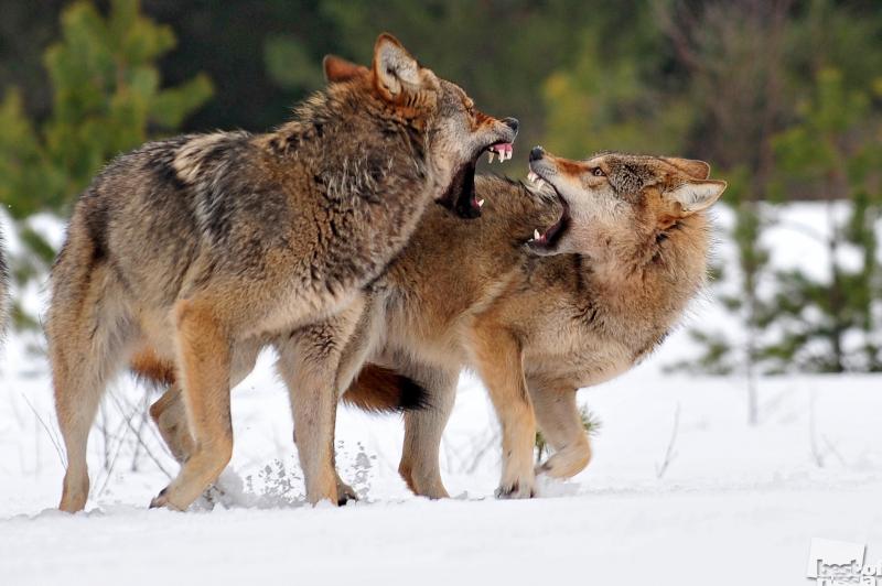 Волки. Автор Сергей Горшков.jpg