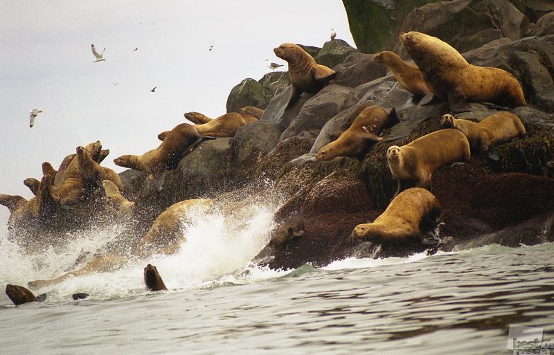 Животный мир Курильских островов. Автор В. Голубцов.jpg