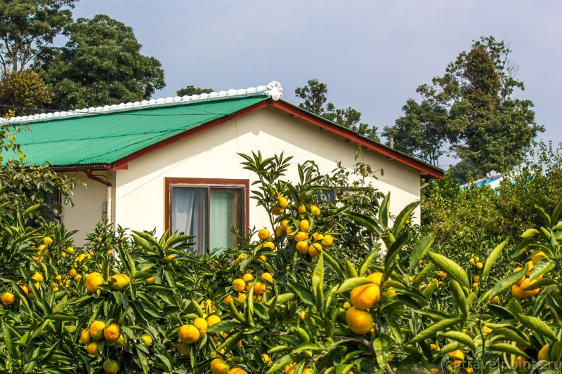 Мандарины в садах на Чеджу