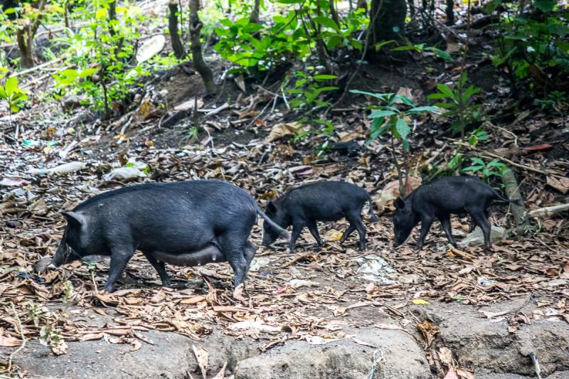 свиней там больше, чем тарсиеров