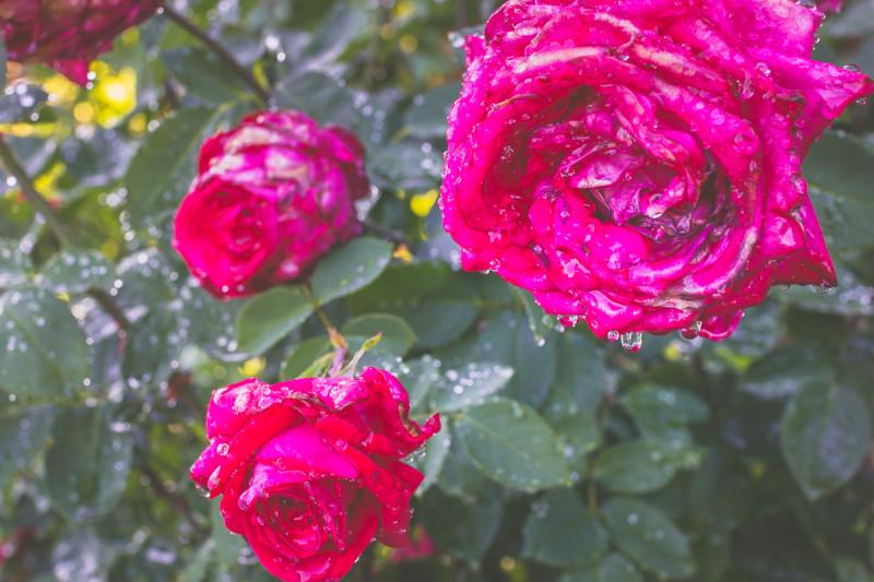 Розы после полива
