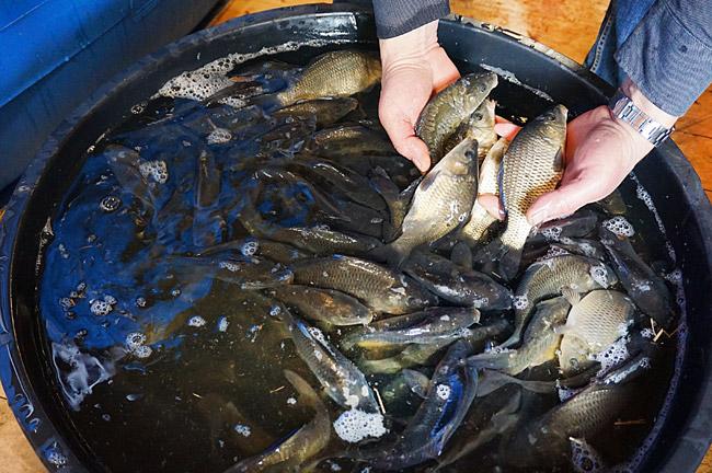 Маленькая домашняя рыбная ферма. Когда нужно экстренно приложить руки