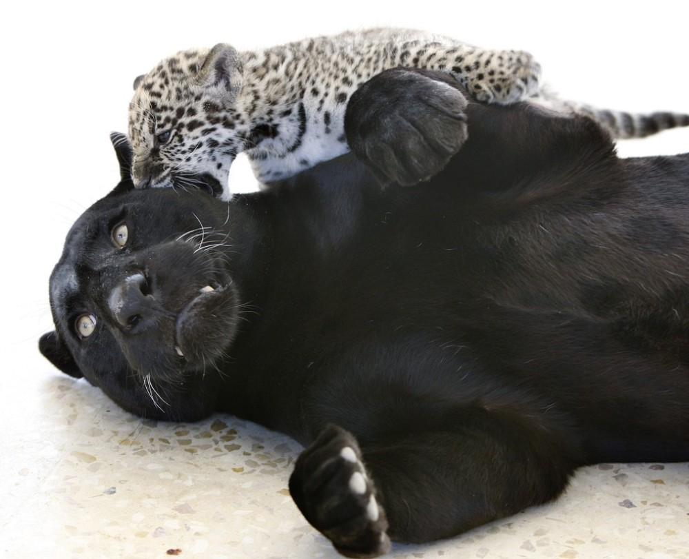 А то, что мама-ягуар черная - не удивляйтесь. Ягуары, как правило, с