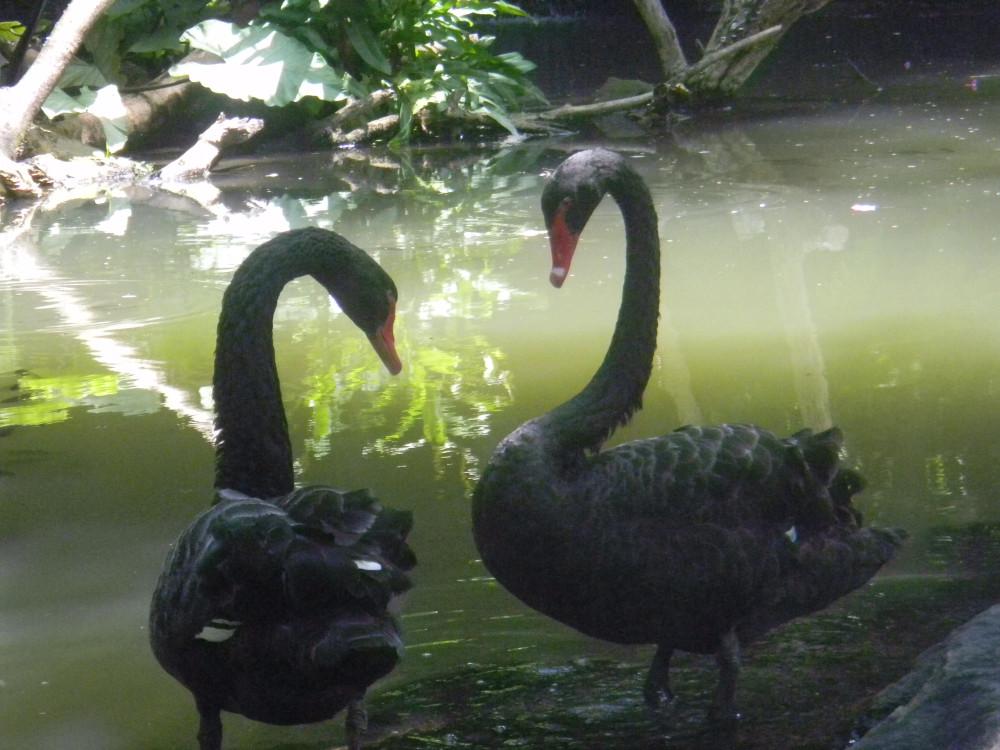 Лебеди Чёпные