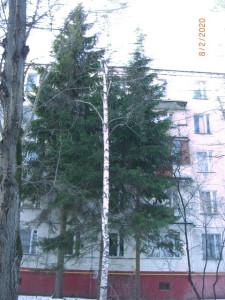 Пихты у сносимой пятиэтажки