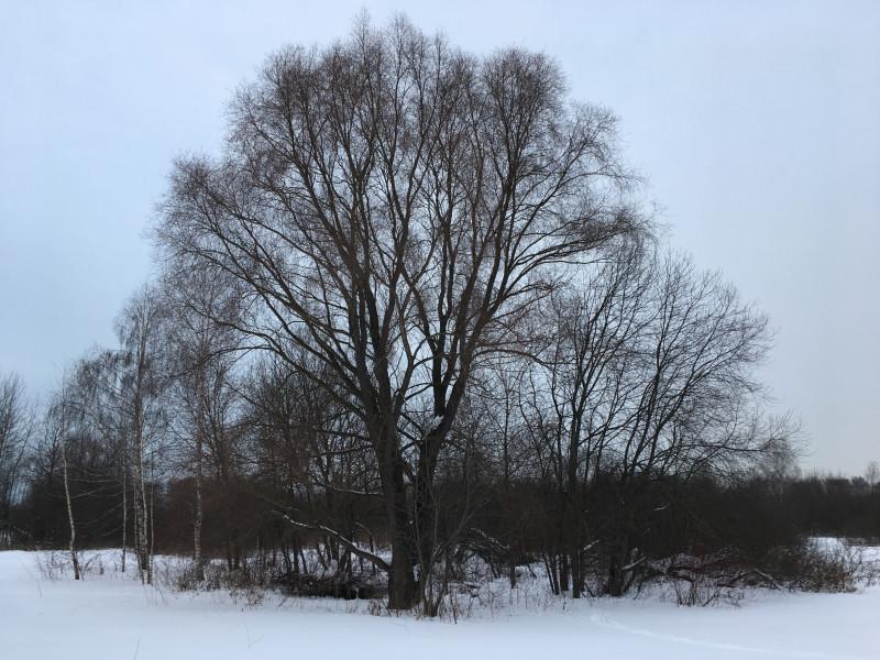 13. Высокое дерево на Щукинском полуострове
