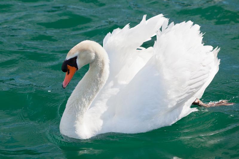 dvoevnore.com: Белый лебедь. A white swan