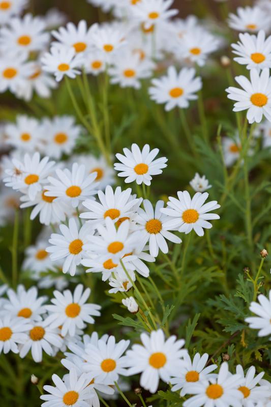 dvoevnore.com: Ромашки. Camomile flowers